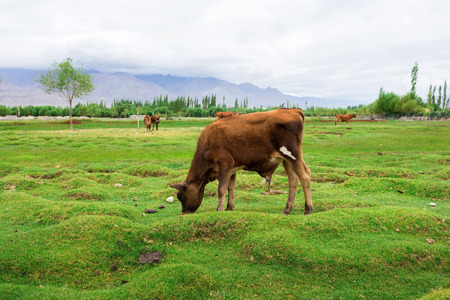 Cow grazing on pasture with natural landscape near Shey Palace located at Leh Ladakh, Jammu and Kashmir, India Stock Photo