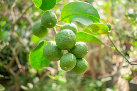 Lime Citrus  tree  with fruits very popular in Southeast Asia. closeup
