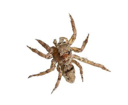 Spinne kriecht isoliert auf weißem Hintergrund mit Schnittmaske