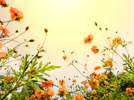 Cosmos is beautifully sunshine.