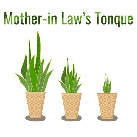 The mother-in-law's tongue tree or snake plant is hand-drawn in pots, small, medium and large. Çizim