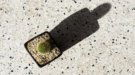 Fresh green Flat-stem cactus in a beautiful ceramic pot with white scree around the stem on a white background and a copy space.Cactus was placed in the sun until a shadow occurs.