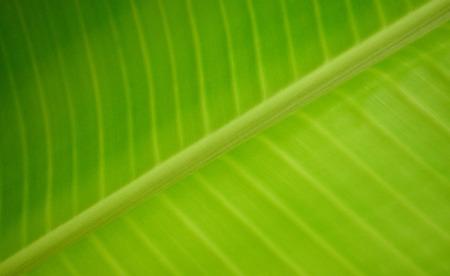 characteristic: characteristic on banana leaf