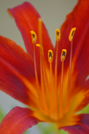 Day Lily Close-Up