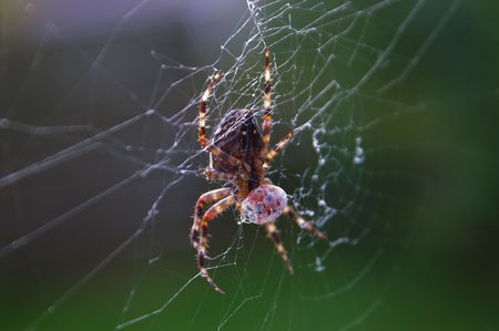 arachnoid: Spider having a ladybird for dinner