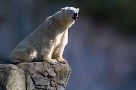 polar bear on the ice: Polar bear sitting