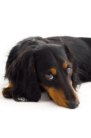 Black dachshound dog, isolated photo