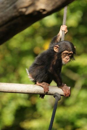 Chimpanzee child sitting photo