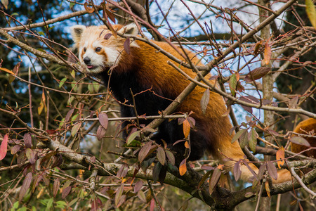 clambering: Red panda sitting in a tree, shown from the side