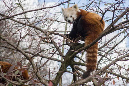 directly below: Red panda sitting in a tree Stock Photo