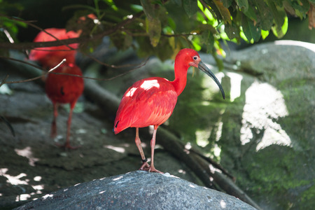 Scarlet ibis standing on a rock photo