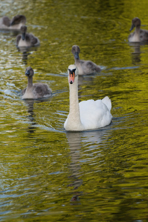 mute swan: Swan mother and her cygnets swimming