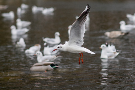 webbed foot: Seagull flying, spreading wings