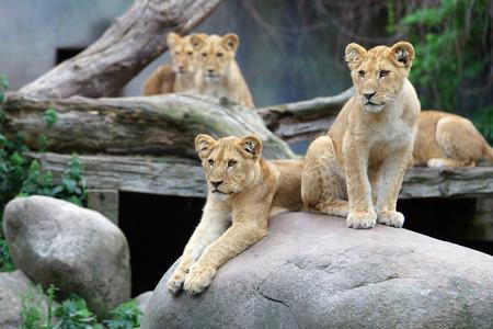 cubs: Curious lion cubs resting