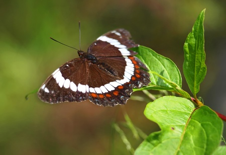 admiral: poplar admiral (limenitis populi) butterfly