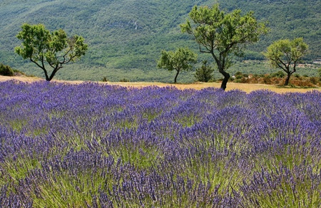 herbs de provence: beautiful field of lavender as seen in provence, france