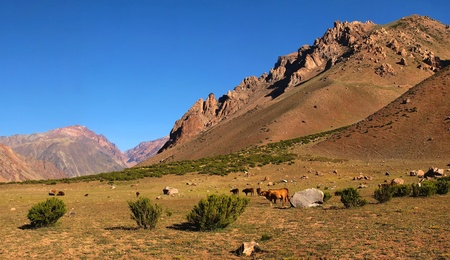 mendoza: beautiful nature landscape at dawn with cattle eating grass in front as seen in the andes, south america.