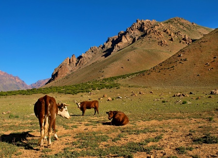dry cow: nature landscape with cattle in argentina, south america.