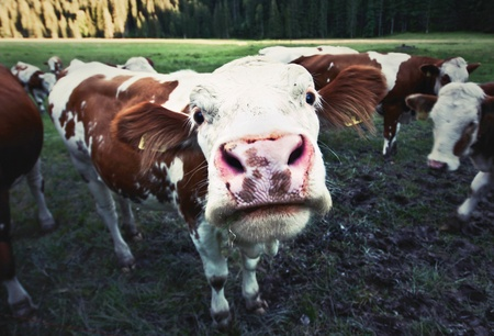 animal tongue: Funny cow