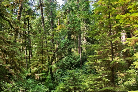 Pristine rainforest as seen in Pacific Rim National Park, Vancouver Island, British Columbia, Canada  photo