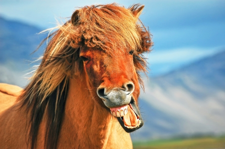 icelandic: Icelandic horse Stock Photo
