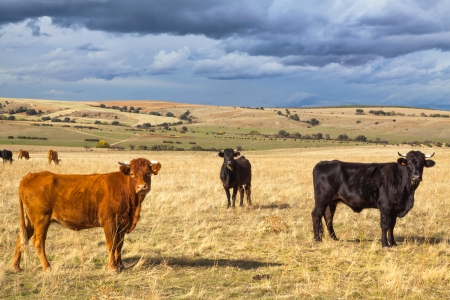 Beautiful landscape with cattle and dark clouds at sunset, Castilla y Leon region, Spain Banco de Imagens