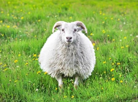カメラを見つめながらアイスランドでかわいい羊