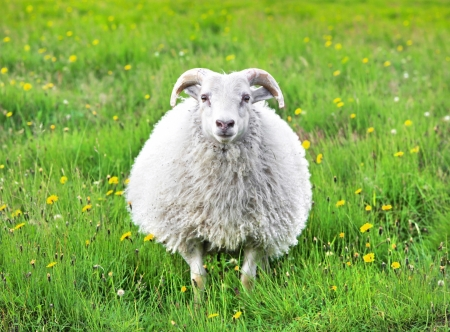 Cute sheep in Iceland staring into the camera photo