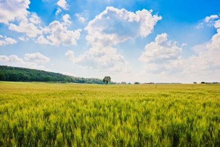 トウモロコシ畑と美しい風景や、トスカーナ、イタリアの木