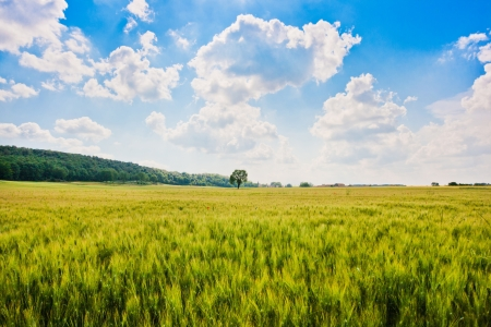 Beautiful landscape with cornfield and and trees in Tuscany, Italy Standard-Bild