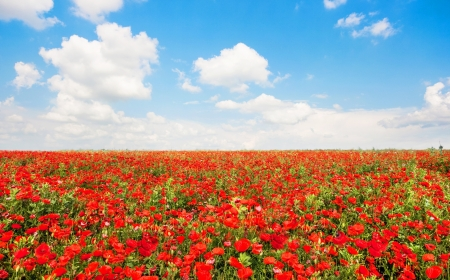 Beautiful field of red poppy flowers with blue sky and cloudscape photo