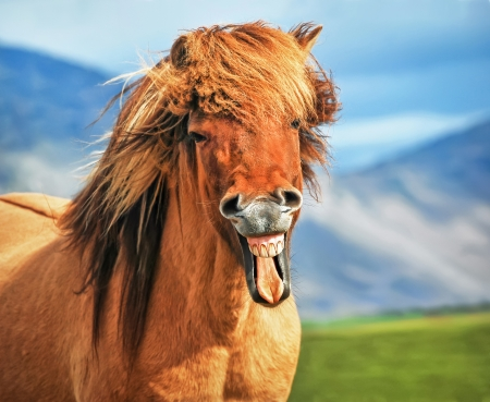 笑みを浮かべてアイスランドの馬 写真素材