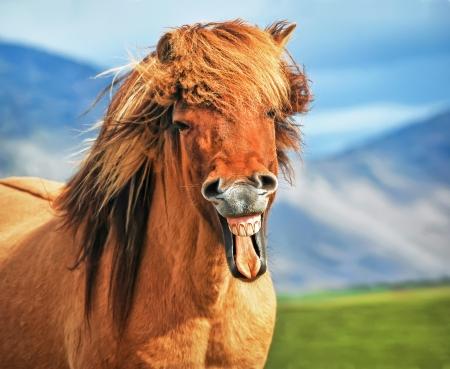 Cheval islandais sourire Banque d'images - 20215282