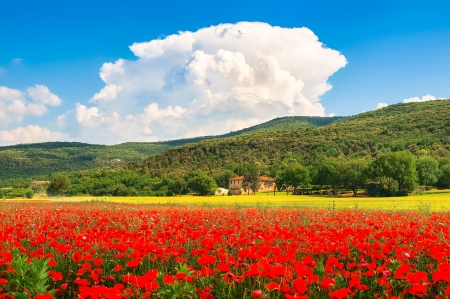 Beautiful landscape with field of red poppy flowers and traditional farm house in Monteriggioni, Tuscany, Italy Фото со стока