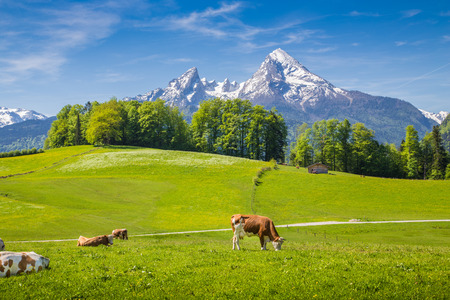 spring landscape: Idyllic summer landscape in the Alps with cow grazing on fresh green mountain pastures and snow capped mountain tops in the background, Nationalpark Berchtesgadener Land, Upper Bavaria, Germany