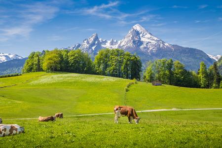 Idyllische Sommerlandschaft in den Alpen mit Kühe grasen auf frischem grünen Almen und schneebedeckten Berggipfeln im Hintergrund, Nationalpark Berchtesgadener Land, Oberbayern, Deutschland