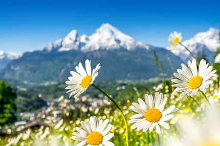 Scenic picture-postcard view of alpine landscape with beautiful flowers blooming in idyllic fields and snowcapped mountain tops in the background on a sunny day in bright sunlight in springtime
