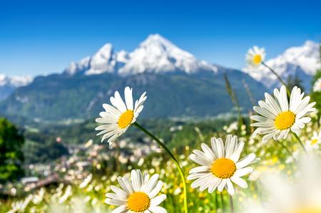 campo de flores: Escénica vista de postal del paisaje alpino con hermosas flores que florece en los campos idílicos y cimas de las montañas cubiertas de nieve en el fondo en un día soleado en la luz del sol en primavera