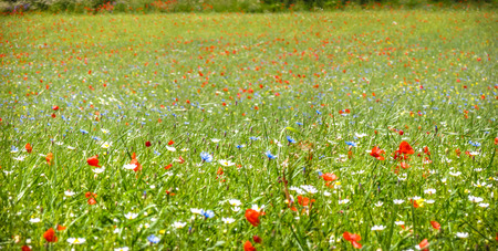 Colorful blooming wild flowers on the idyllic meadow at spring time in the sunshine