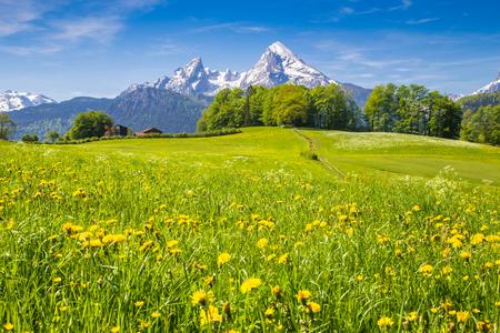 新鮮な緑の牧草地と咲く花とバック グラウンドで雪に覆われた山の頂上とアルプスの牧歌的な風景