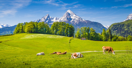 Idyllic summer landscape in the Alps with cow grazing on fresh green mountain pastures and snow capped mountain tops in the background, Nationalpark Berchtesgadener Land, Upper Bavaria, Germany Stok Fotoğraf - 56410617