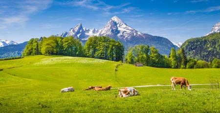 Idyllische zomer landschap in de Alpen met koeien grazen op verse groene bergweiden en besneeuwde bergtoppen op de achtergrond, Nationalpark Berchtesgaden, Opper-Beieren, Duitsland