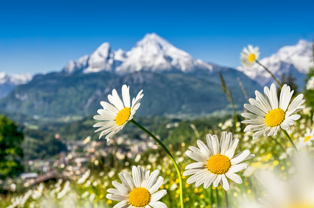 efflorescence: Beautiful view of idyllic grasslands in the Bavarian Alps with blooming field flowers and snow-capped mountain tops in the background in spring, Nationalpark Berchtesgadener Land, Bavaria, Germany