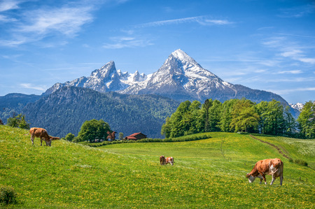 Idyllic landscape in the Alps with cow grazing in fresh green meadows between blooming flowers, typical farmhouses and snowcapped mountain tops in the background, Nationalpark Berchtesgadener Land, Bavaria, Germany