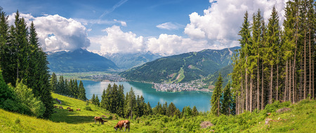 kaprun: Beautiful panoramic view of cow grazing in fresh green meadows in the Alps with famous city of Zell am See and idyllic Zeller Lake on a sunny day in spring in Salzburg, Salzburger Land, Austria Stock Photo
