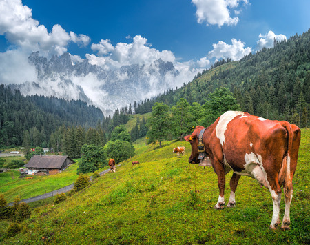 monch: Idyllic summer landscape in the Swiss Alps with cow grazing in fresh green meadows between blooming flowers, typical farmhouses and snow-capped mountain tops on a sunny day with blue sky, Switzerland