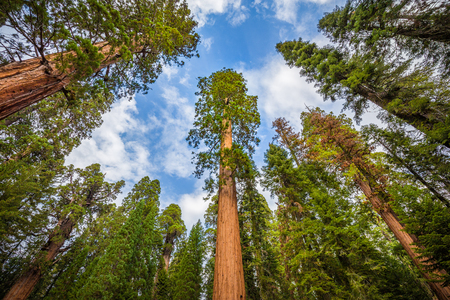Classic wide-angle view of famous giant sequoia trees, also known as giant redwoods or Sierra redwoods, on a beautiful sunny day with blue sky and clouds in summer, Sequoia National Park, California, USA Stock Photo