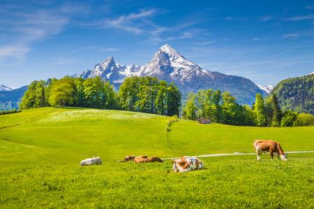 新鮮な緑山に放牧の牛とアルプスの牧歌的な夏の風景が牧草地、雪を頂いた背景、国立公園ベルヒテス上部のババリア、ドイツの山のてっぺん 写真素材