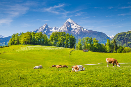 Idyllic summer landscape in the Alps with cow grazing on fresh green mountain pastures and snow capped mountain tops in the background, Nationalpark Berchtesgadener Land, Upper Bavaria, Germany Stock fotó - 80060365