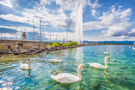 Beautiful panoramic view of swans on Lake Geneva with famous Jet dEau water fountain in the background on a beautiful sunny day with blue sky and clouds in summer, Geneva, Switzerland